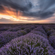 Lavender field - PhotoDune Item for Sale