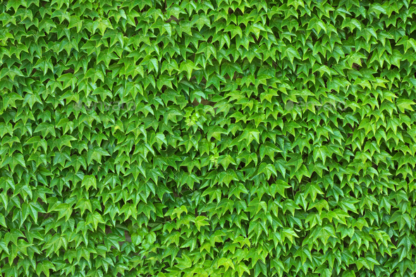 Green Ivy Wall Background and Texture - Stock Photo - Images