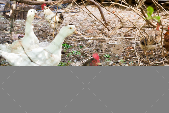 Geese, chicken and ducks in the bird's yard. - Stock Photo - Images