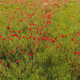 Beautiful Garden of Poppies - VideoHive Item for Sale