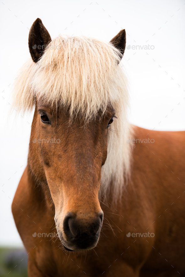 Portrait of icelandic horse - Stock Photo - Images