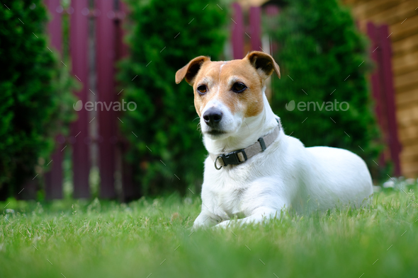 Jack russel terrier on lawn near house - Stock Photo - Images
