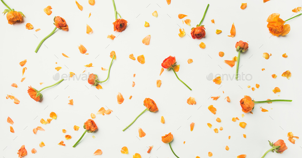 Flat-lay of orange buttercup flowers over white background, wide composition - Stock Photo - Images