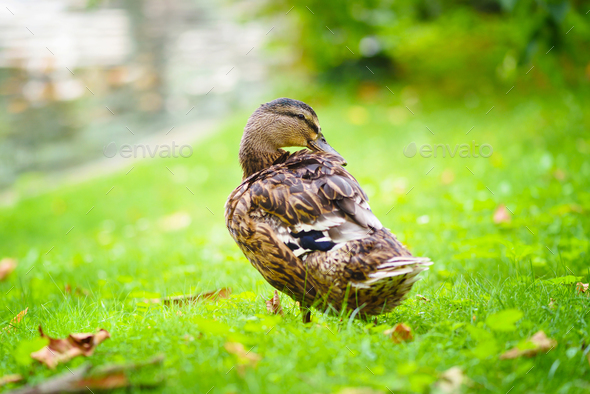 Duck standing near a pond on a grass background - Stock Photo - Images