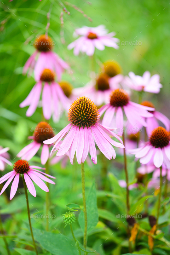Echinacea flowers (Echinacea purpurea) against green background - Stock Photo - Images
