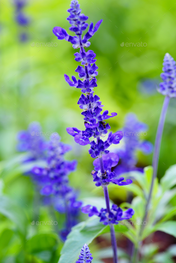 Blue Salvia (salvia farinacea) flowers blooming in the garden - Stock Photo - Images