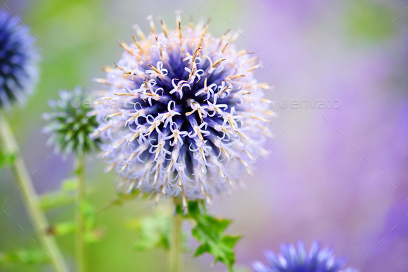 Globe thistle a flower (Echinops) in the garden. Flower family o - Stock Photo - Images