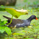 Common moorhen (Gallinula chloropus) swimming in a lake on a sun - PhotoDune Item for Sale