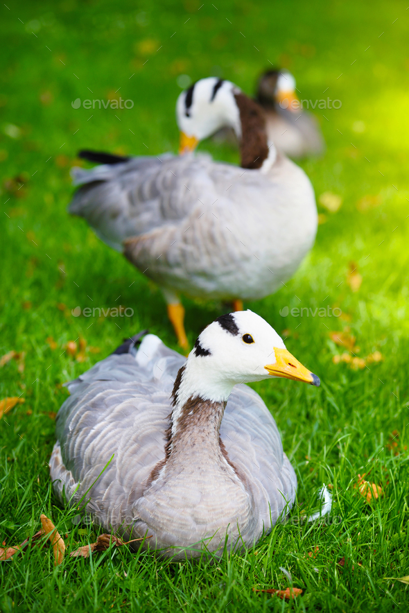 Bar-headed goose (Anser indicus) in a meadow - Stock Photo - Images