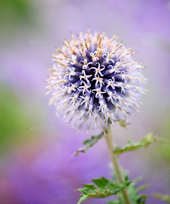 Purple echinops thistle flower with selective focus - Stock Photo - Images