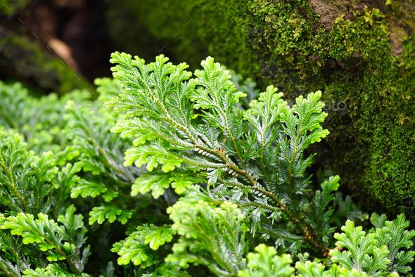 Close-up selaginella martensii plant - Stock Photo - Images