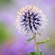 Purple echinops thistle flower with selective focus - PhotoDune Item for Sale