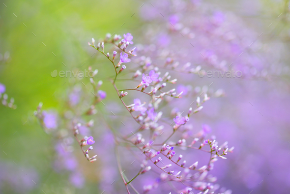 Flowers Limonium platyphyllum. Gentle flower background - Stock Photo - Images