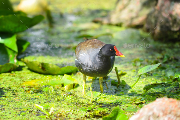 Common moorhen (Gallinula chloropus) swimming in a lake on a sun - Stock Photo - Images