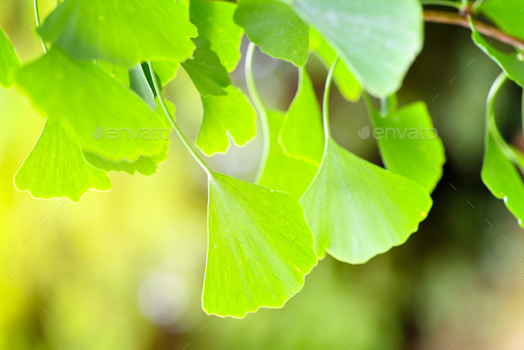 Close-up green leaves of Ginkgo Biloba in a garden - Stock Photo - Images