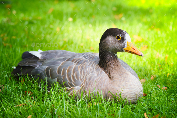Graylag goose (Anser anser) in a meadow - Stock Photo - Images