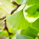 Close-up green leaves of Ginkgo Biloba in a garden - PhotoDune Item for Sale