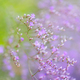 Flowers Limonium platyphyllum. Gentle flower background - PhotoDune Item for Sale