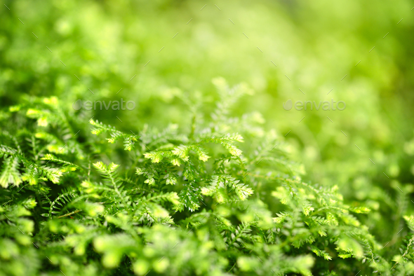 Close-up selaginella martensii plant. Green background - Stock Photo - Images