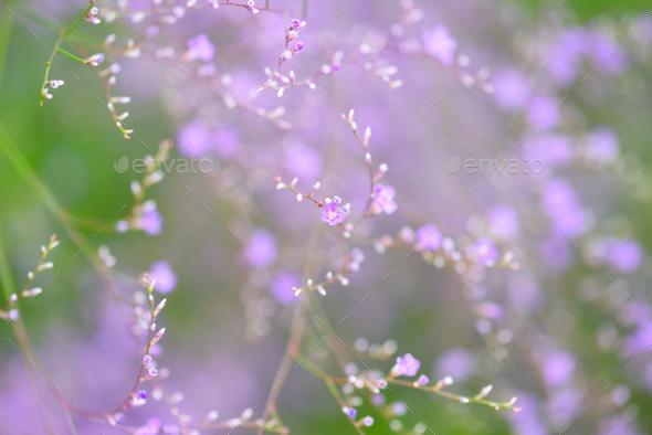 Flowers Limonium platyphyllum. Gentle flower background - Stock Photo - Images