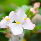 Close-up pale pink Begonia flowers with green leafs in garden. - PhotoDune Item for Sale