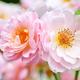 Flowers of light pink rose in the garden. Tea rose. Floral backg - PhotoDune Item for Sale