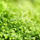 Close-up selaginella martensii plant. Green background - PhotoDune Item for Sale