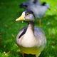 Graylag goose (Anser anser) in a meadow - PhotoDune Item for Sale
