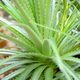 Aloe Vera, fresh leaf in natural background - PhotoDune Item for Sale