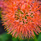 Close-up of a Scadoxus multiflorus, Amaryllidaceae, selective fo - PhotoDune Item for Sale