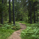 Beautiful pine forest path in Alps - PhotoDune Item for Sale