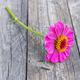 Pink zinnia flower - PhotoDune Item for Sale