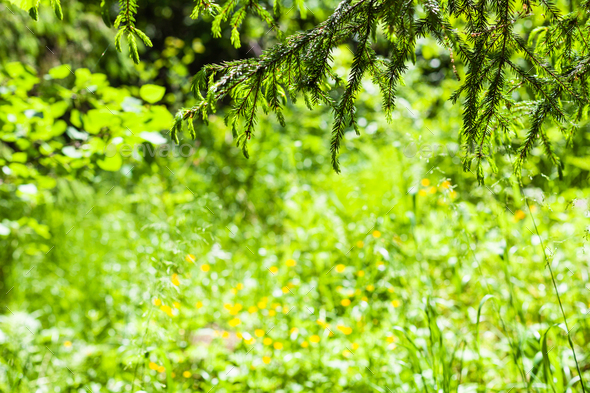 spruce twigs over green forest glade - Stock Photo - Images