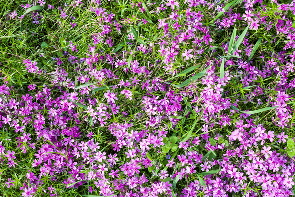 pink flowers of phlox subulata on green lawn - Stock Photo - Images