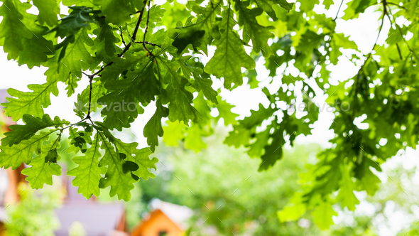 green leaves of oak tree in village in summer - Stock Photo - Images