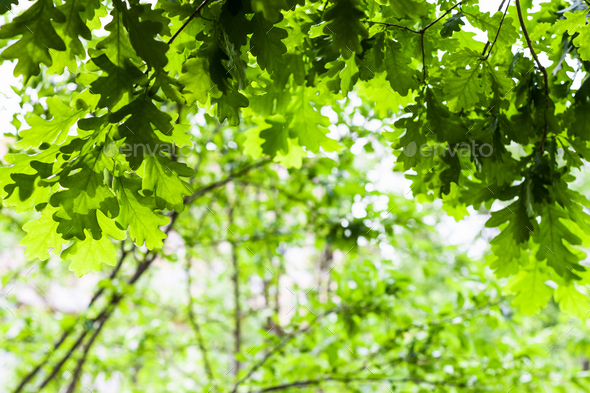 oak green leaves in forest in summer - Stock Photo - Images