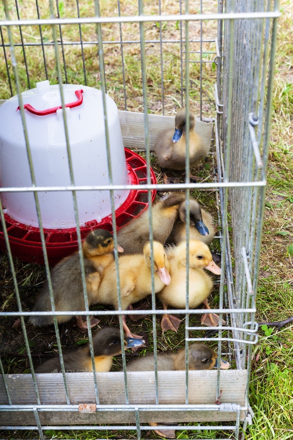 several ducklings in cage on grass in garden - Stock Photo - Images