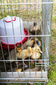 several ducklings in cage on grass in garden - PhotoDune Item for Sale