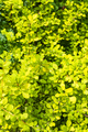 leaves of yellow Thunbergs Barberry plant - PhotoDune Item for Sale
