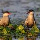 common terns (sterna hirundo hirundo) - PhotoDune Item for Sale