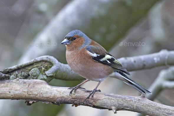 Common chaffinch (Fringilla coelebs) - Stock Photo - Images