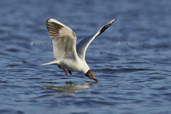 Black-headed gull (Chroicocephalus ridibundus) - Stock Photo - Images