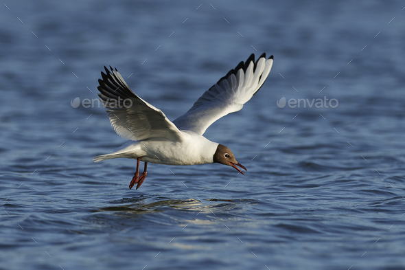 Black-headed gull (Chroicocephalus ridibundus) - Stock Photo - Images