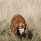 Cocker spaniel in the grass - PhotoDune Item for Sale
