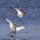 Black-tailed godwit (Limosa limosa) - PhotoDune Item for Sale