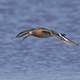 Black-tailed godwit (Limosa limosa) - PhotoDune Item for Sale
