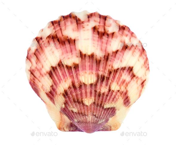 Calico Scallop Sea Shell - Stock Photo - Images