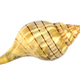 Banded Tulip Sea Shell - PhotoDune Item for Sale