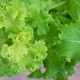 Lactuca sativa - PhotoDune Item for Sale