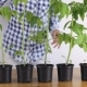 Girl Watering Tomato Seedlings at Home - VideoHive Item for Sale